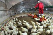 آنفلوآنزای پرندگان قابل انتقال به انسان به کشور وارد شد