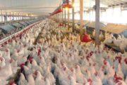 عرضه مرغ منجمد ۸۹۰۰ تومانی